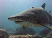 Shark Gordon: The Grey Nurse (2005)