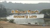 A Bengal Tiger's Motherly Love (2008)