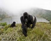 Gorillas on the Edge (1999)