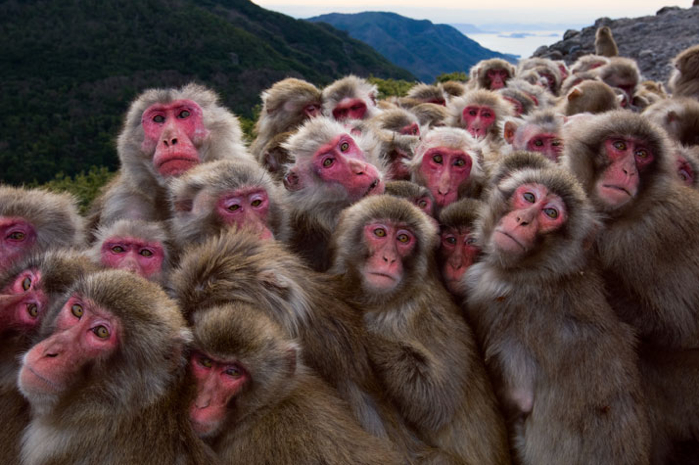 Shodo Shima, Japan - Huddled for warmth, macaques press their bodies into a vast ball of fur. The monkeys' relaxed social hierarchy allows high- and low-ranking individuals to share the same tight space. (Yushiro Fukuda)