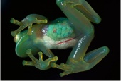 Germany - The see-through skin of an inch-long glass frog reveals her eggs