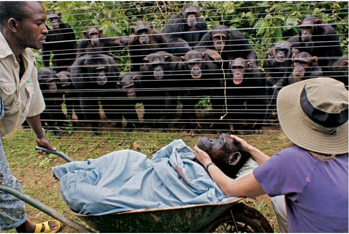 Cameroon - At the Sanaga-Yong Chimpanzee Rescue Center, more than a dozen residents form a gallery of grief, looking on as Dorothy—a beloved female felled in her late 40s by heart failure—is borne to her burial. (Monica Szczupider)  Source: National Geographic