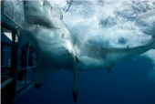 Mexico - Thirteen feet and a thousand-plus pounds of great white shark