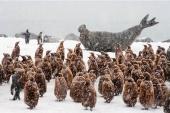 South Georgia Island - southern elephant seals and king penguins share a rookery