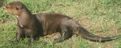 The giant otter, Pteronura brasiliensis