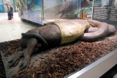 Senckenberg Museum exhibit of a capybara being swallowed by an Anaconda