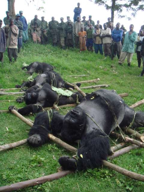 "Earthtimes online report ""National Geographic have announced that On Tuesday, July 1, 2008, at 10 p.m. ET/PT, National Geographic Channel's ""Explorer: Gorilla Murders"" reports from eastern DRC, one of the most dangerous places on earth, with the full untold story behind the massacre. Central to the story is Stirton, a South African war photographer with a long history in the region. He was on-location when the murdered gorillas were found and returned to the park for National Geographic to investigate who was behind the killings. In addition to the world television premiere, Stirton's and writer Mark Jenkins' reporting is the July cover story for National Geographic magazine. With the first Western journalists to gain access to the gorilla sector of the park since the killings occurred, National Geographic presents exclusive testimonials from eyewitnesses, including Stirton, who discuss the hunt to bring the perpetrators to justice and the desperate efforts to protect the remaining gorillas, including one miraculous infant whose family was among those massacred"".