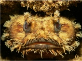 Banded toadfish among the coral