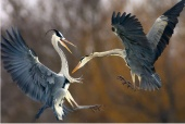 Pusztaszer, Hungary - Two herons fight over a fish