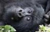 Rare Gorillas Spied Feasting on Figs (National Geographic)
