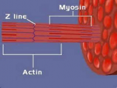 Muscular System: Sliding Filament Theory
